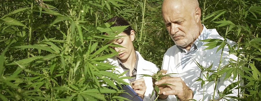 expert researchers checking hemp plants. how to market CBD products in USA. CBD SEO and marijuana SEO company.