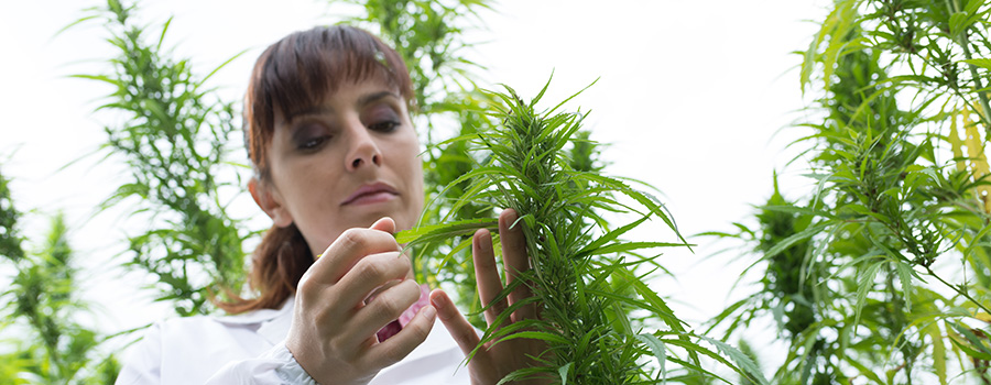 scientist checking hemp flowers. CBD advertising company. SEO services for CBD companies.